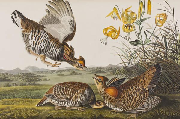 Wall Art - Painting - Pinnated Grouse by John James Audubon