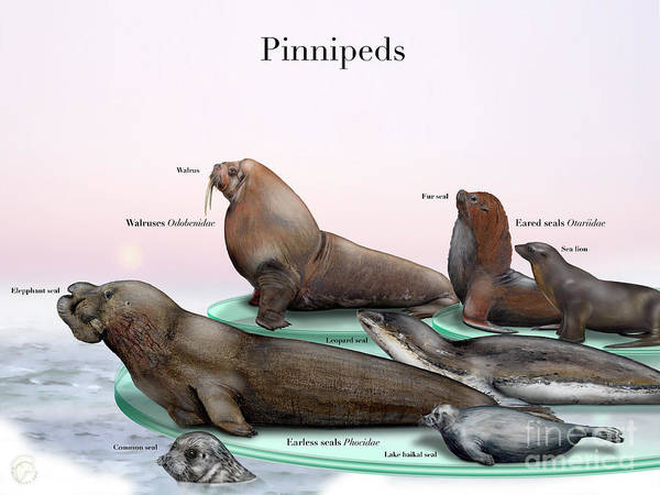 Painting - Pinnipeds  - Seals  - Walruses Odobenidae - Eared Seals Otariidae -  Earless Seals Phocidae by Urft Valley Art
