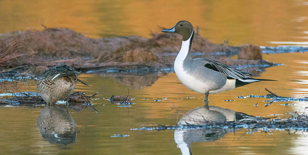 Photograph - Pintail Duck 5714-020418-1cr by Tam Ryan