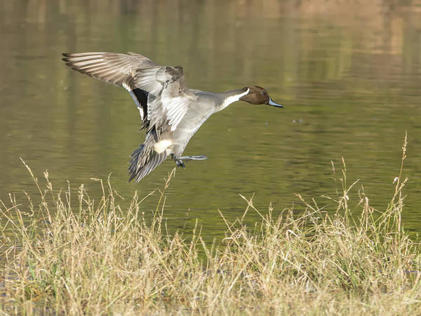 Photograph - Pintail Duck Male by Tam Ryan