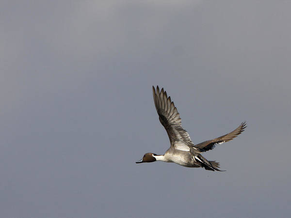 Photograph - Pintail In Flight by Charles McKelroy