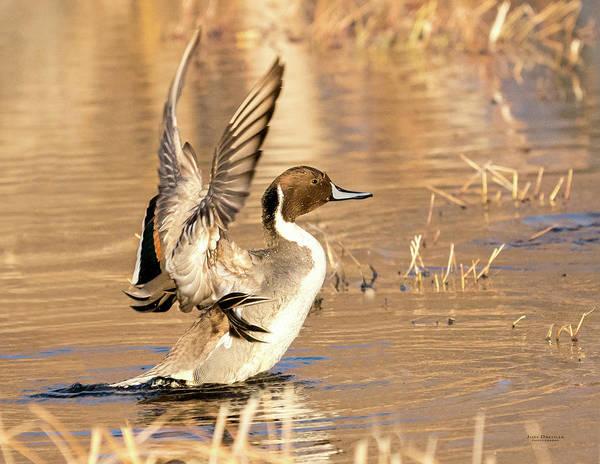 Photograph - Pintail Shaking Wings by Judi Dressler