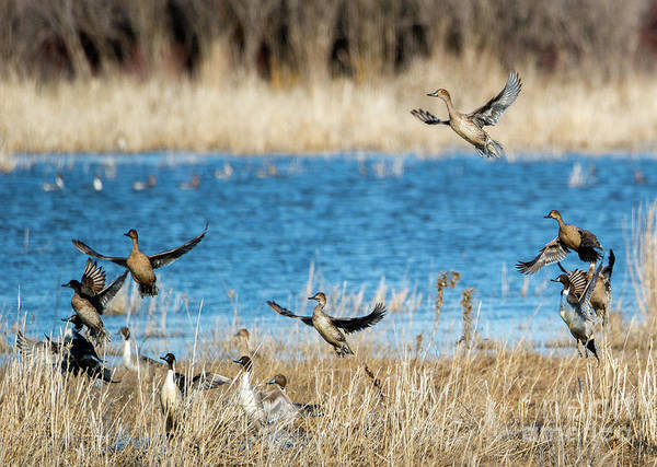 Wall Art - Photograph - Pintails To The Air by Mike Dawson