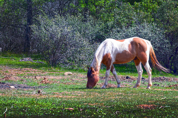 Photograph - Pinto Grazing by Frank Wilson