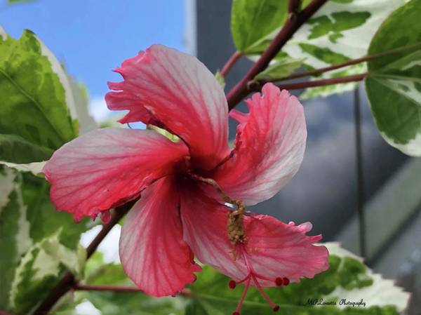 Photograph - Pinwheel Pretty by Marian Palucci-Lonzetta