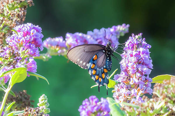 Photograph - Pipevine Swallowtail 1 by Jim Thompson