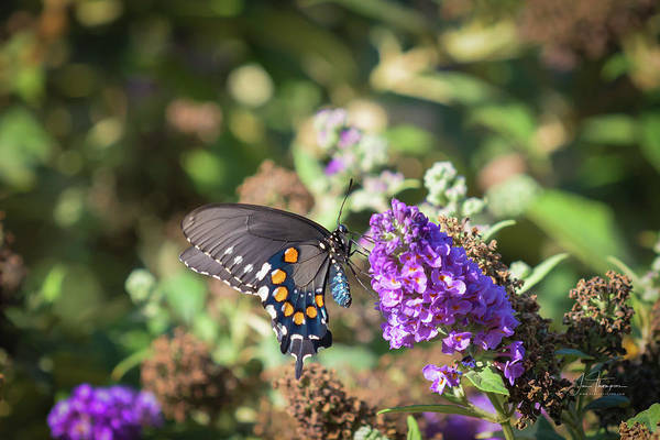 Photograph - Pipevine Swallowtail 2 by Jim Thompson
