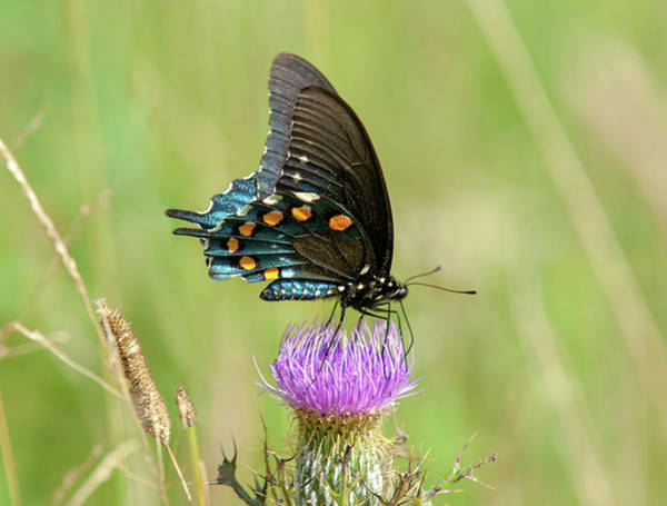 Photograph - Pipevine Swallowtail Butterfly 2 by Lara Ellis