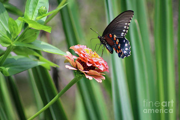 Photograph - Pipevine Swallowtail Butterfly By Yucca by Karen Adams