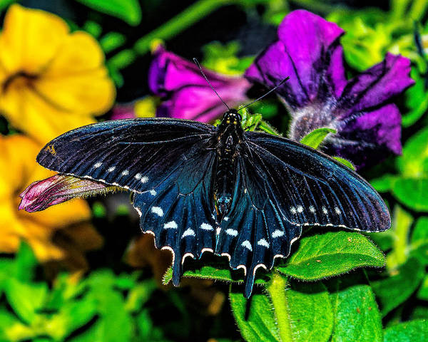 Photograph - Pipevine Swallowtail Butterfly by Nick Zelinsky