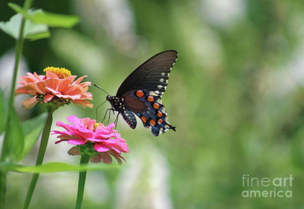 Photograph - Pipevine Swallowtail Butterfly On Pink Zinnia by Karen Adams