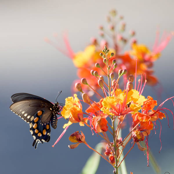Photograph - Pipevine Swallowtail by Dan McManus