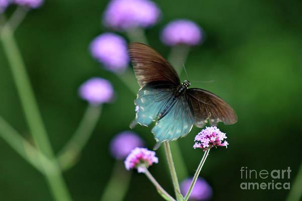 Photograph - Pipevine Swallowtail In Flight by Karen Adams
