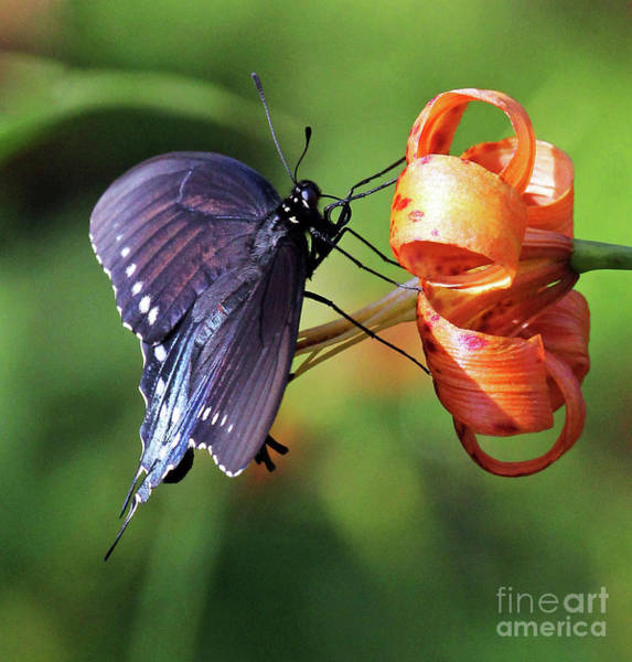 Photograph - Pipevine Swallowtail by Jennifer Robin