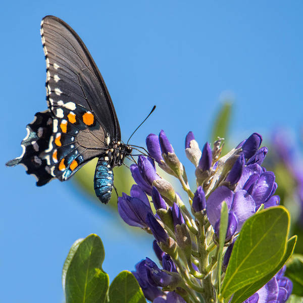 Photograph - Pipevine Swallowtail On The Texas Mountain Laurel by Dan McManus