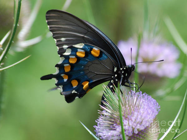 Photograph - Pipevine Swallowtail by Randy Bodkins