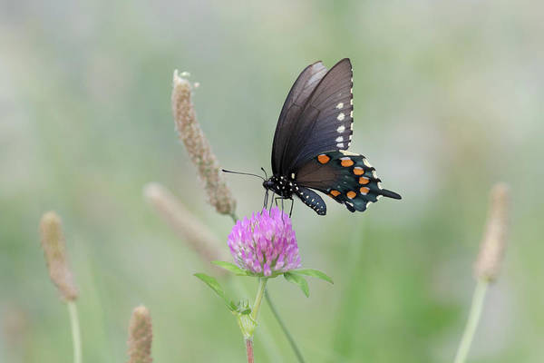 Photograph - Pipevine Swallowtail by Susan Rissi Tregoning
