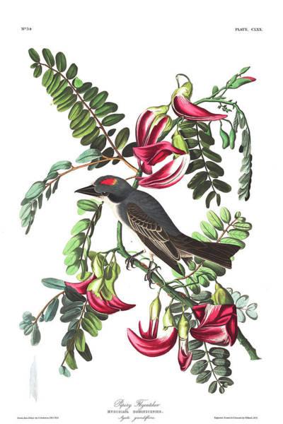 Ornithologist Wall Art - Painting - Piping Flycatcher by John James Audubon