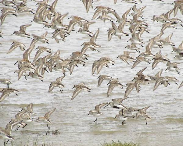 Dunlin Photograph - Piping In Spring by I'ina Van Lawick
