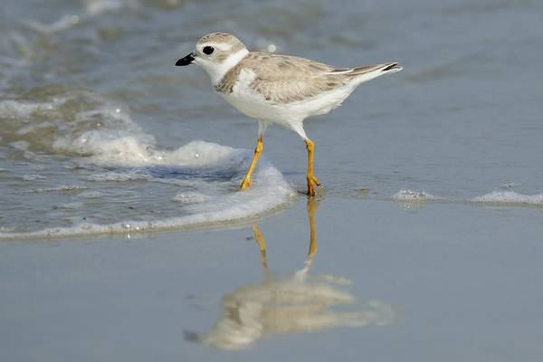 Photograph - Piping Plover In Surf by Bradford Martin