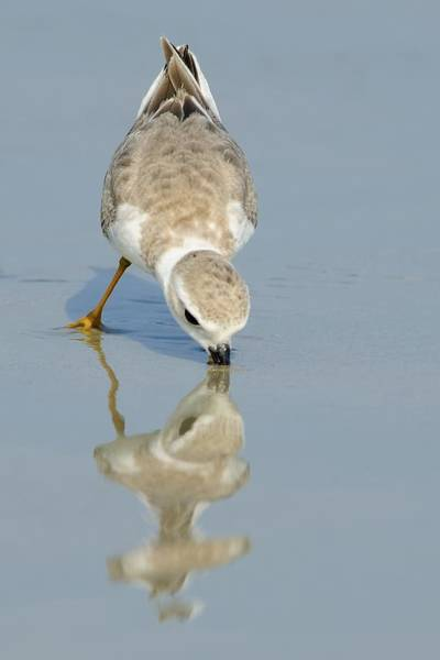 Photograph - Piping Plover With Reflection by Bradford Martin