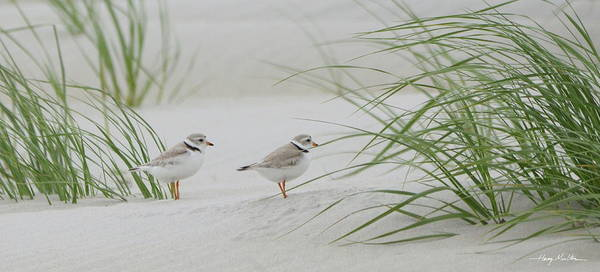 Photograph - Piping Plovers by Harry Moulton