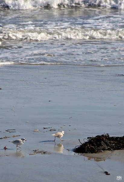 Photograph - Piping Plovers by John Meader