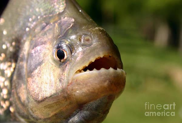 Photograph - Piranha by Balanced Art