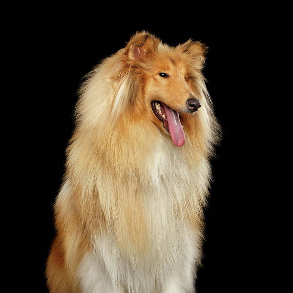 Photograph - Collie On Black by Sergey Taran