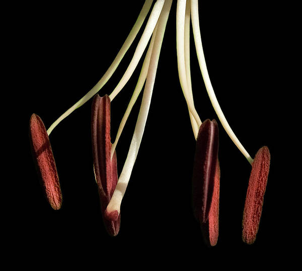 Tigerlily Wall Art - Photograph - Pistil And Stamen Tiger Lily by Tim Bond