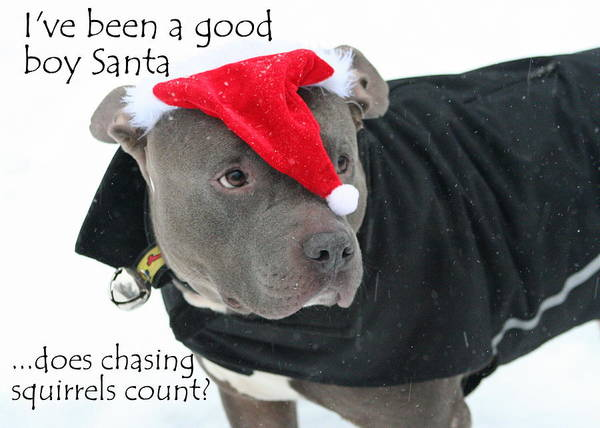 Wall Art - Photograph - Pit Bull Christmas Two by Sue Long