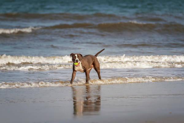 Photograph - Pitbull Terrier by Peter Lakomy