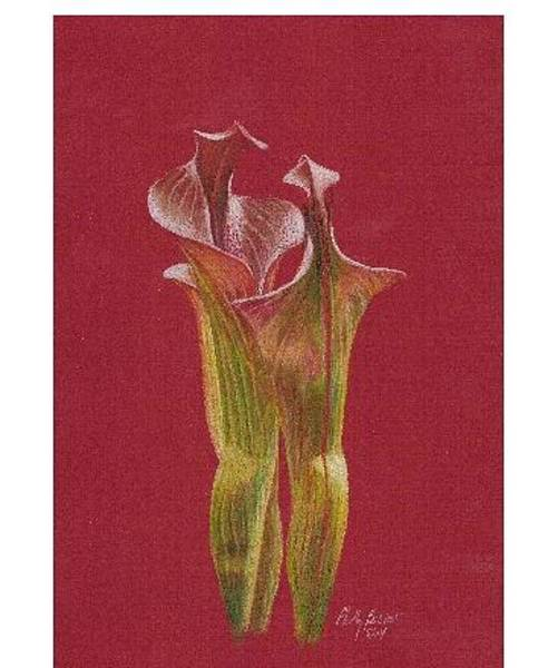 Carnivorous Drawing - Pitcher Plant by Phillis Bostar