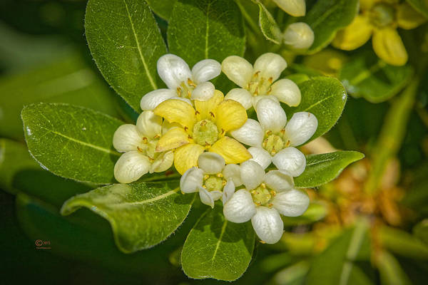 Photograph - Pittosporum Flowers by Jim Thompson