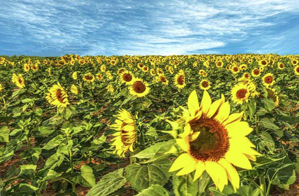 Photograph - Plains Sunflowers by Scott Cordell