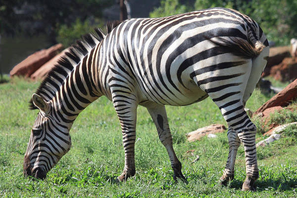 Photograph - Plains Zebra Grazing by Sheila Brown