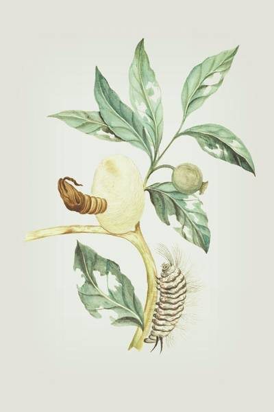 Mixed Media - Plant Pupa And Caterpillar By Cornelis Markee 1763 by Cornelis Markee