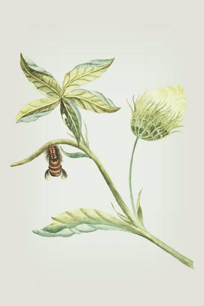 Mixed Media - Plant With Flower And Leaves Caterpillar Changing Into A Moth By Cornelis Markee 1763 by Cornelis Markee
