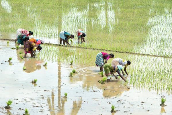 Wall Art - Photograph - Planting Rice by Tim Gainey