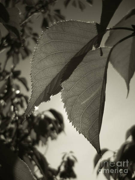 Photograph - Platinum Leaves 1 by Jeff Breiman