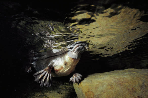 Photograph - Platypus Surfacing by David Parer and Elizabeth Parer-Cook