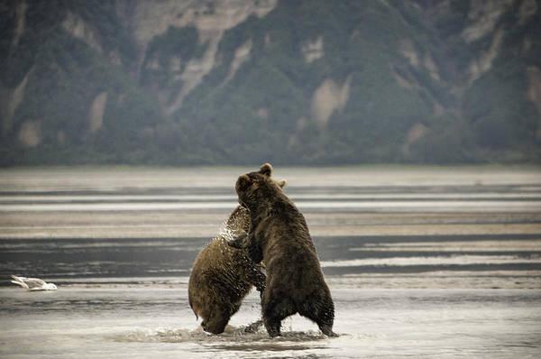 Dancing Bears Photograph - Dancing Bears by Phyllis Taylor