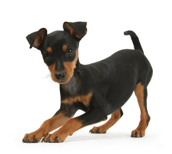 Photograph - Play Time Pinscher by Warren Photographic