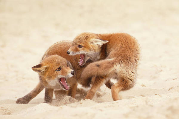 Kit Fox Photograph - Playfighting Red Fox Kits by Roeselien Raimond