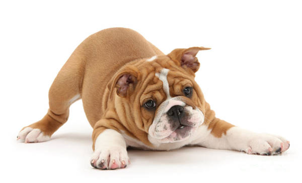 Photograph - Playful Bulldog Pup by Warren Photographic