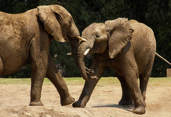Photograph - Playful Elephants by Anthony Jones