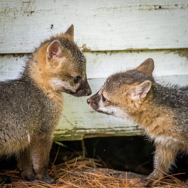 Wall Art - Photograph - Playful Fox Kits  by Paul Freidlund
