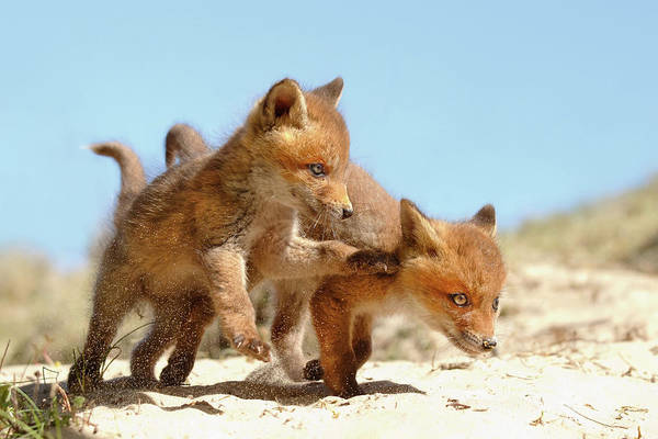 Cute Overload Photograph - Playing Fox Kits by Roeselien Raimond