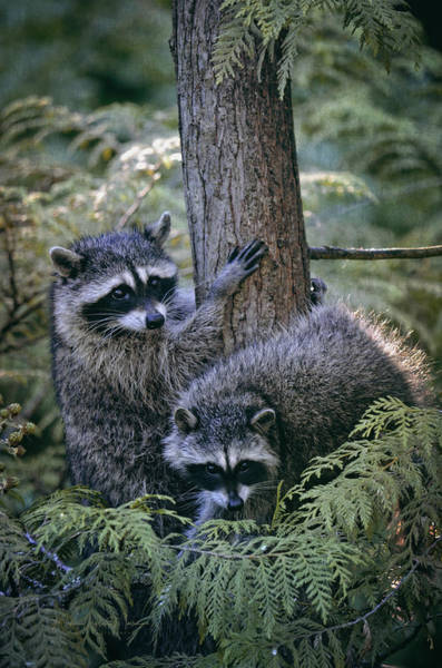 Raccoon Photograph - Playing In The Woods by Maria Angelica Maira