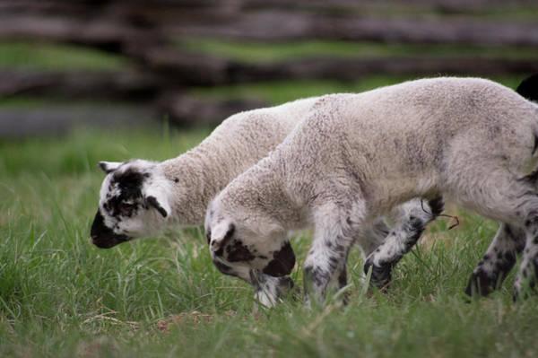 Photograph - Playing Lambs by Buddy Scott